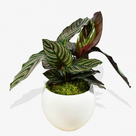Calathea Sanderiana - same day or named day delivery - Rushes Florist
