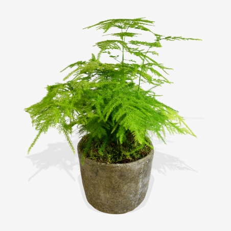 Asparagus Fern - same day or named day delivery - Rushes Florist
