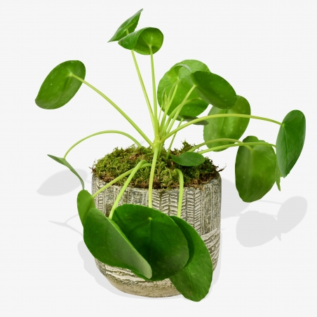 Chinese Money Plant - same day or named day delivery - Rushes Florist