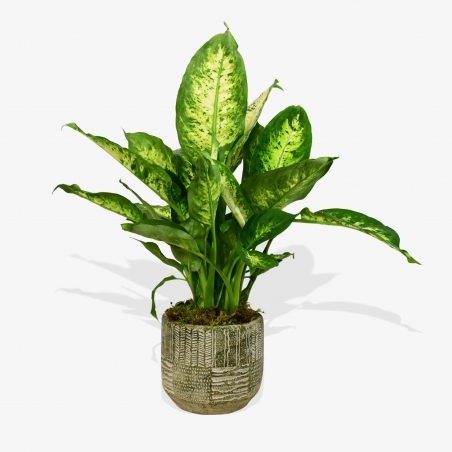 Dumb Cane - same day or named day delivery - Rushes Florist