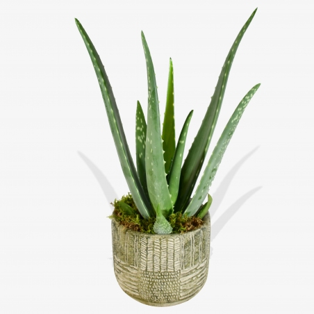 Aloe Vera - same day or named day delivery - Rushes Florist