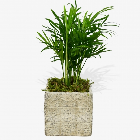 Parlour Palm - same day or named day delivery - Rushes Florist