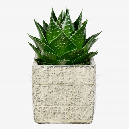 Aloe Comso - same day or named day delivery - Rushes Florist