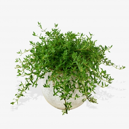 Thyme - same day or named day delivery - Rushes Florist