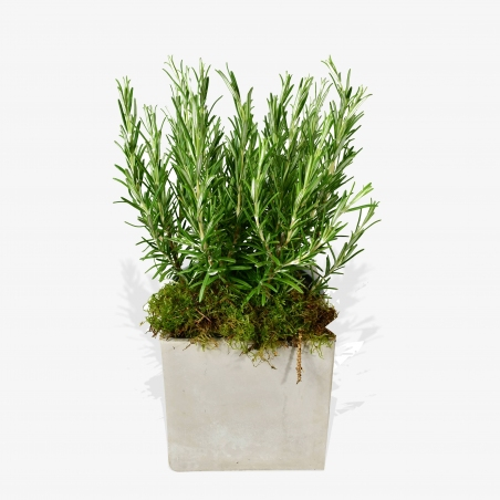 Rosemary - same day or named day delivery - Rushes Florist