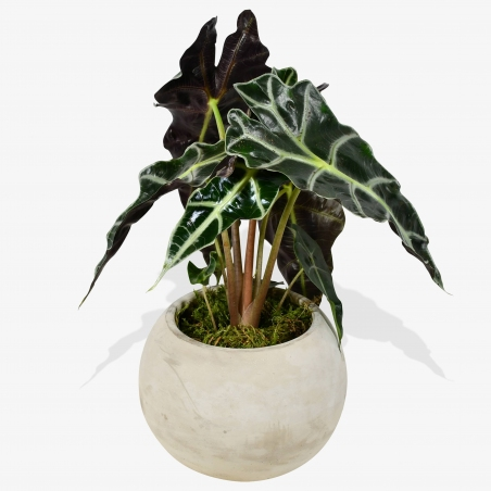 Alocasia Amazonica Polly - same day or named day delivery - Rushes Florist