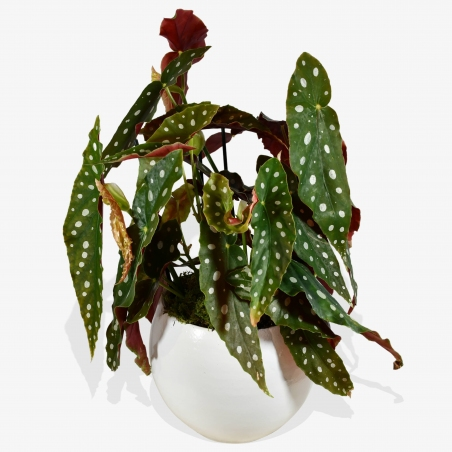 Polka Dot Begonia - same day or named day delivery - Rushes Florist
