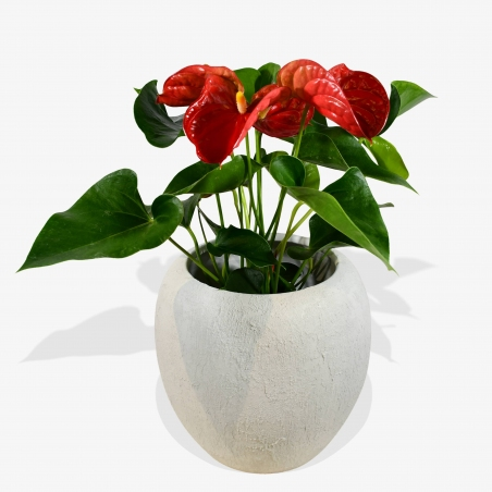 Red Anthurium - same day or named day delivery - Rushes Florist