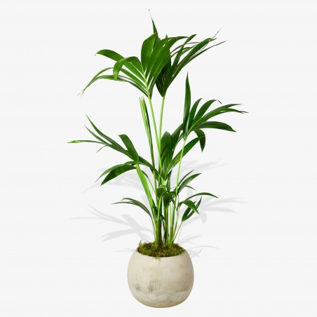 Areca Palm - same day or named day delivery - Rushes Florist