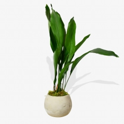 Aspidistra Elatior - same day or named day delivery - Rushes Florist