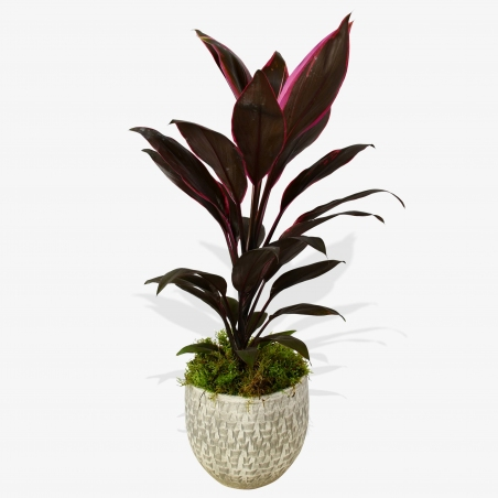 Cordyline Fruti Mambo - same day or named day delivery - Rushes Florist