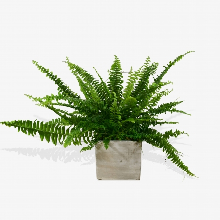 Boston Fern - same day or named day delivery - Rushes Florist