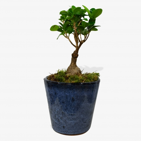 Ficus Ginseng - same day or named day delivery - Rushes Florist