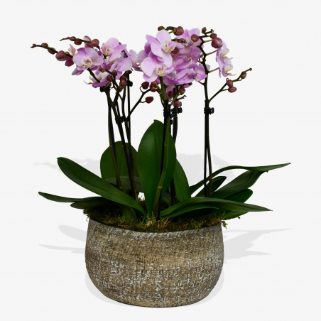 Pink Phalaenopsis - same day or named day delivery - Rushes Florist