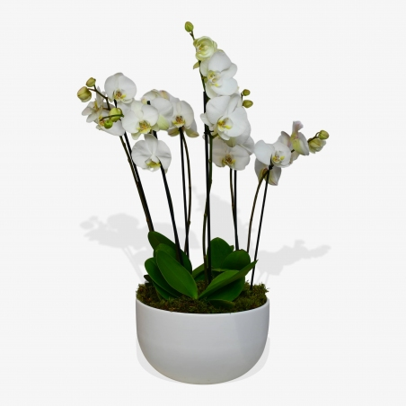 White Phalaenopsis - same day or named day delivery - Rushes Florist