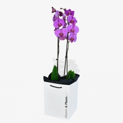 Phalaenopsis Orchids - same day or named day delivery - Rushes Florist